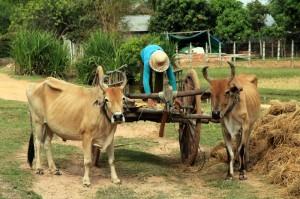 Cambodia Ox-Cart