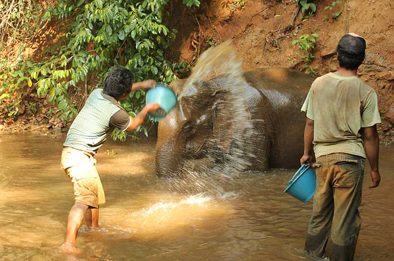 Bathing elephants in natural river