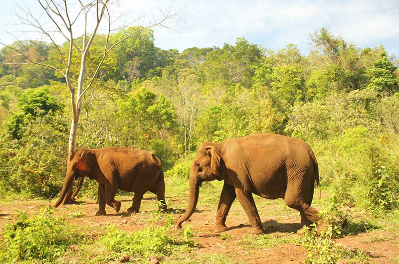 Elephants in Mundulkiri
