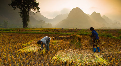 Farmer work in their rice field
