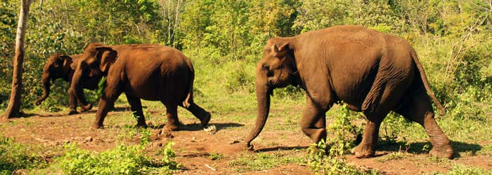 elephants in ELIE Elephant Valley Project, Mondulkiri, Cambodia