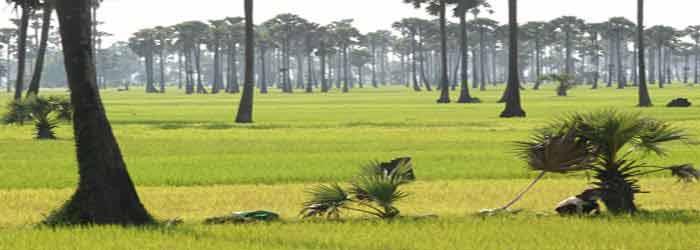 Rice fields in Takeo