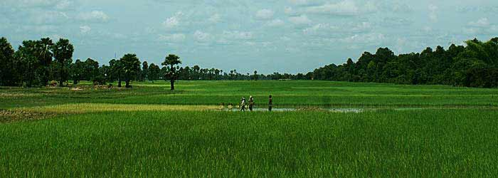 Cambodian farmers working in the rice fields.