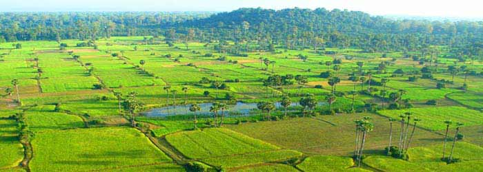 Green rice paddies in Siem Reap