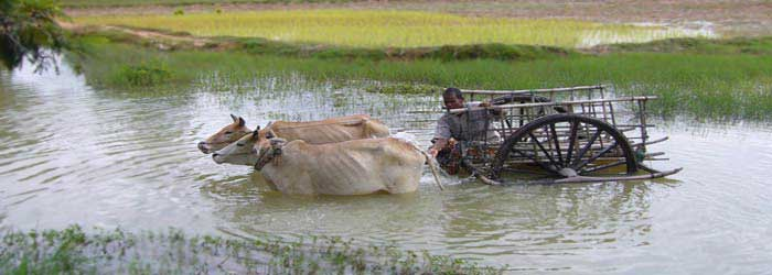 An oxen cart makes its way through the river, Cambodia