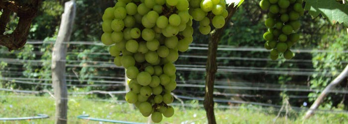 Vineyard in Battambang