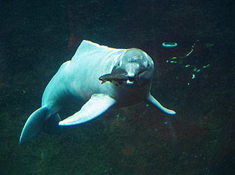 Irrawaddy Freshwater Dolphins, Kratie