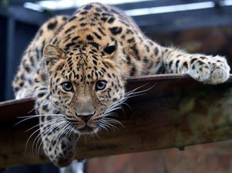 Leopard in zoo captivity
