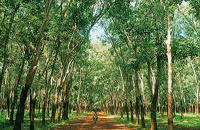 Chup Rubber Plantation, near Kampong Cham