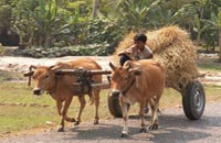 siem reap attractions - ox cart