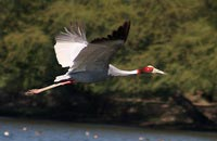 sarus crane - birdwatching and ecotourism