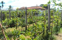 Battambang wineyard