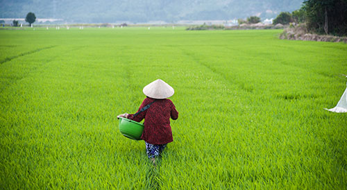 vietnam farmer field